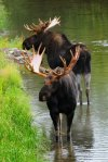 Bull Moose, Snake River, Grand Tetons