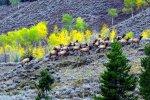 Elk Herd, Grand Tetons, Wyoming