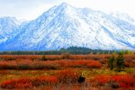 Early Autumn Moose, Grand Tetons