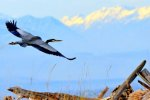 Great Blue Heron near Coupeville Ferry, Whidbey Island
