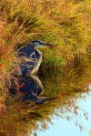 Great Blue Heron, Reflection, Whidbey Island,