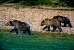 Grizzly Trio on the Hunt, British Columbia