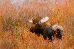 Moose in the Meadow, Grand Tetons