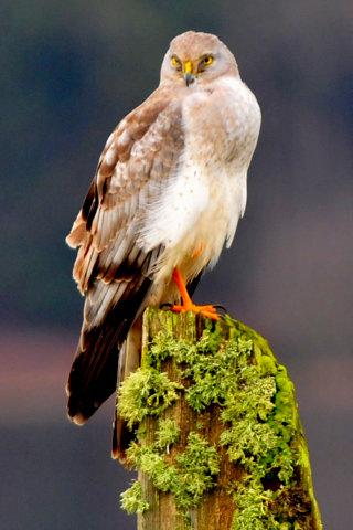 Northern Harrier Male, Hawk, Raptor, Bird, White, Green,