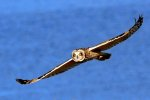 Short-eared Owl over Crockett Lake, Whidbey Island