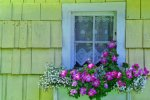 Whidbey Island, Flower Box, Petunia, Antique Window, Lace Curtains, Yellow