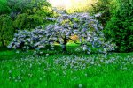 Green, Cherry Tree, Dandelions, Arboretum, University of Washington, White Flowers, Grass, Garden, Orchard