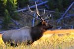 Elk in the Rut, Grand Tetons National Park, Bull Elk, Yellow, Autumn, Wildlife,