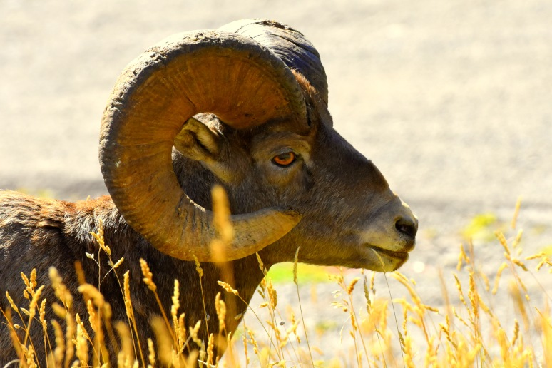 Big Horn Sheep, Glacier